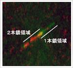 1分子DNAの1本鎖部分(赤)と2本鎖部分(緑)の染め分け