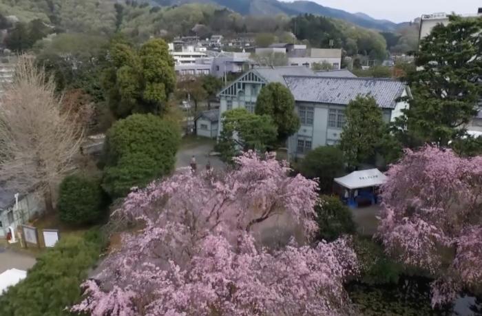 群馬大学理工学部キャンパスのしだれ桜(ドローン映像)2016